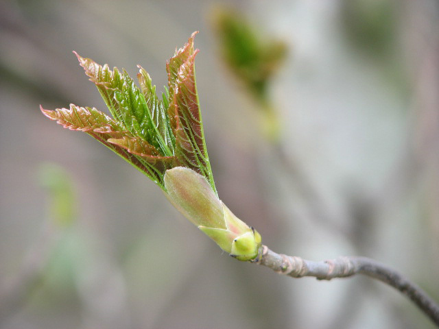 File:Sycamore - Stages of opening leaf buds (1) - geograph.org.uk - 768239.jpg