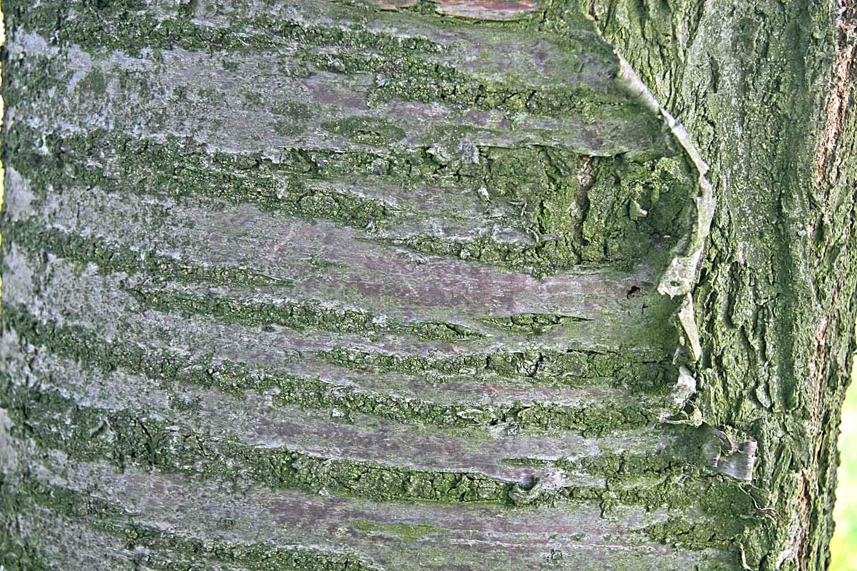 Kmen stromu třešně.