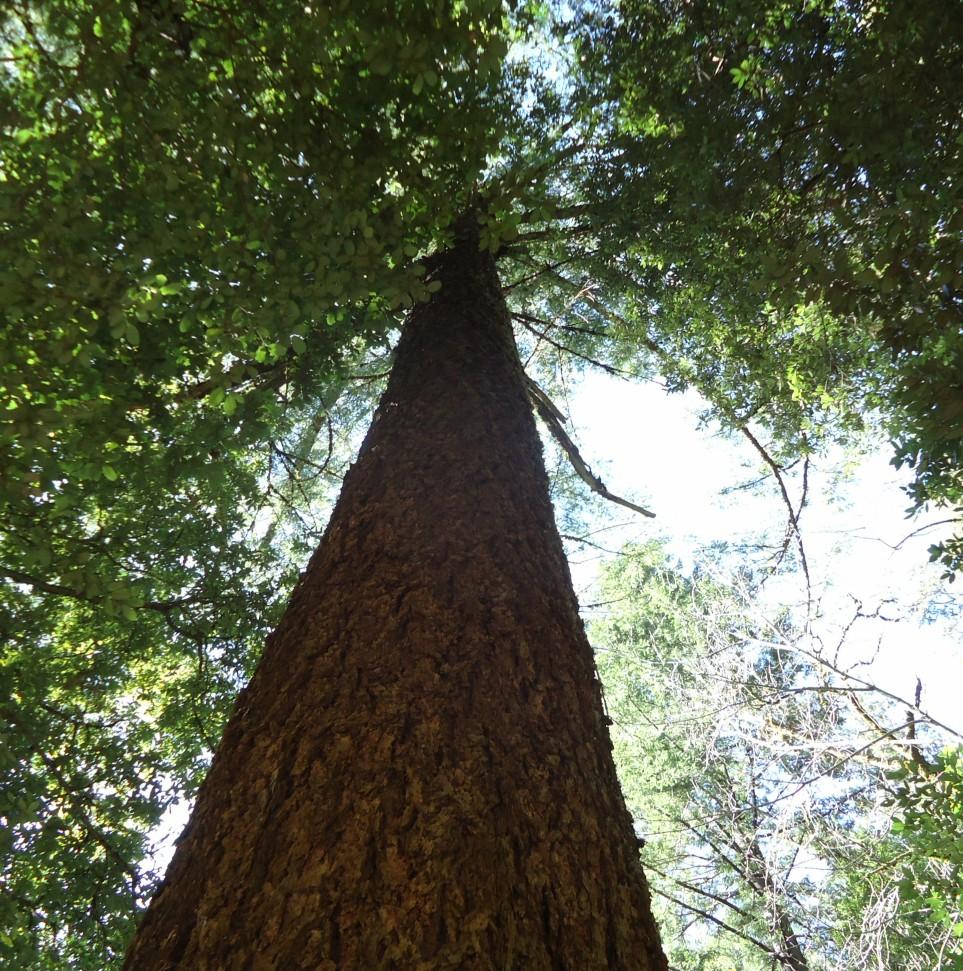 tall tree how tall