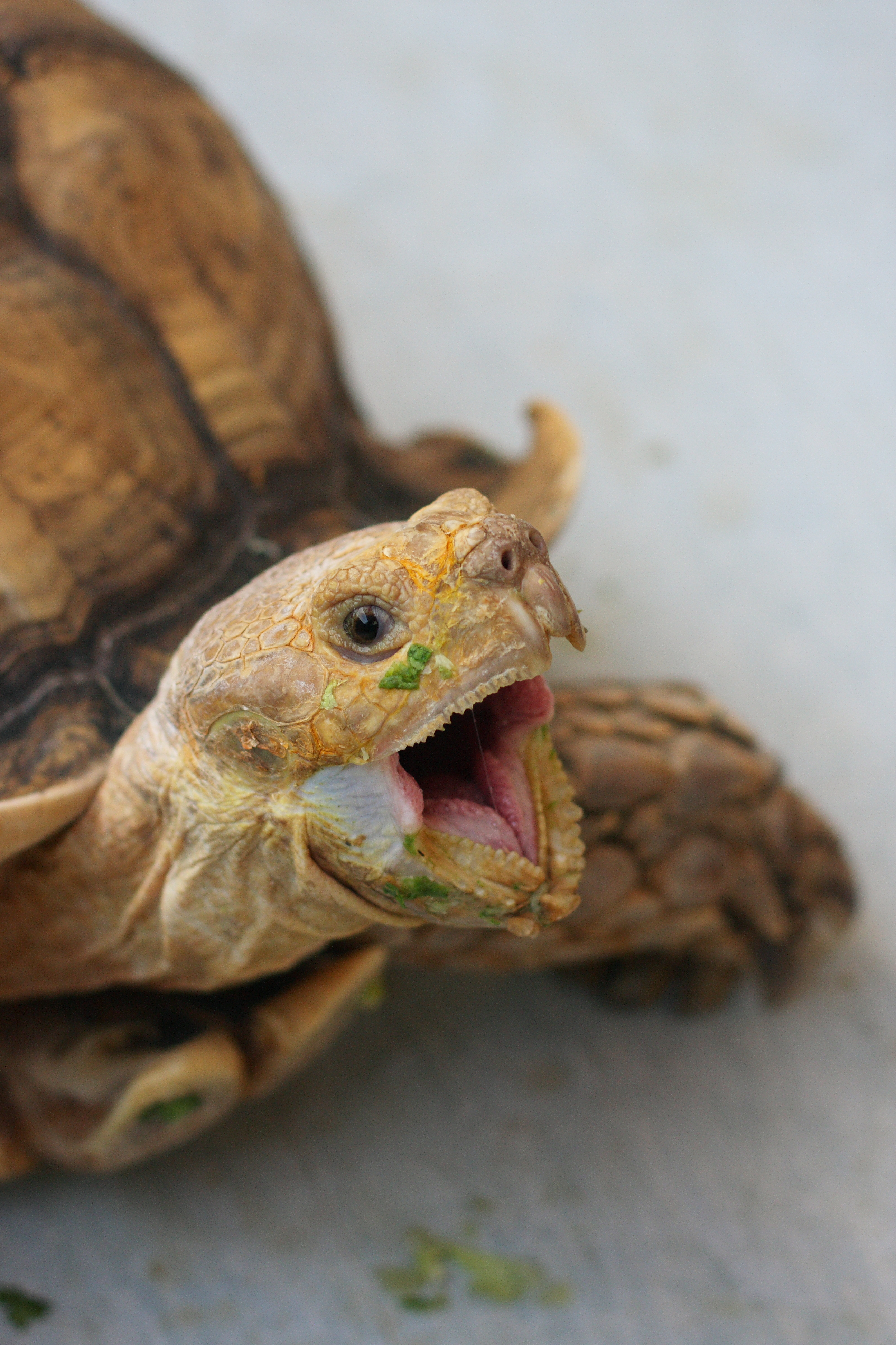 File:The African Spurred Tortoise, The Live Turtle & Tortoise Museum ...