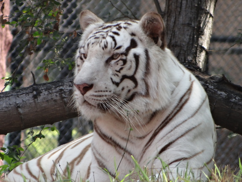The white tiger01.jpg
