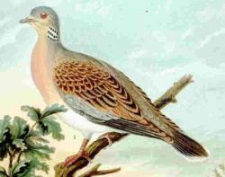 http://upload.wikimedia.org/wikipedia/commons/d/d2/Turtle_dove.jpg