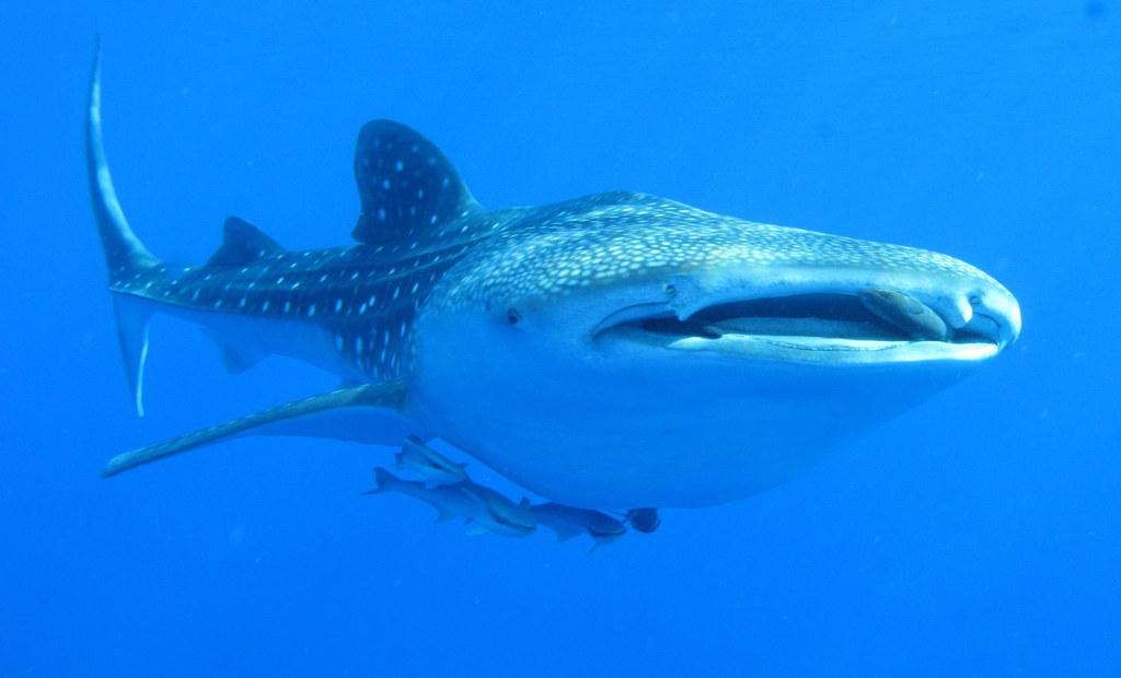 File:Whaleshark, Daedalus Reef, Red Sea, Egypt - take 2 (6142991715 ... Whale Shark Size
