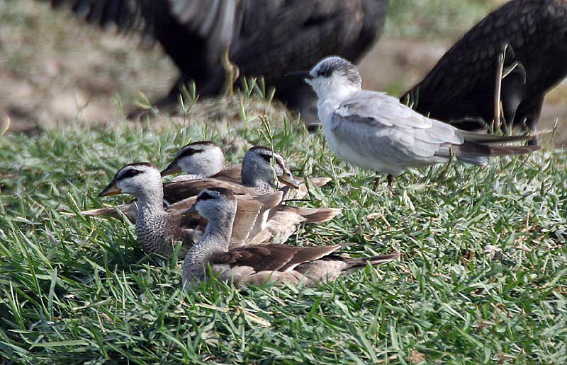 Cotton Pygmy-Geese (with Whiskered Tern)