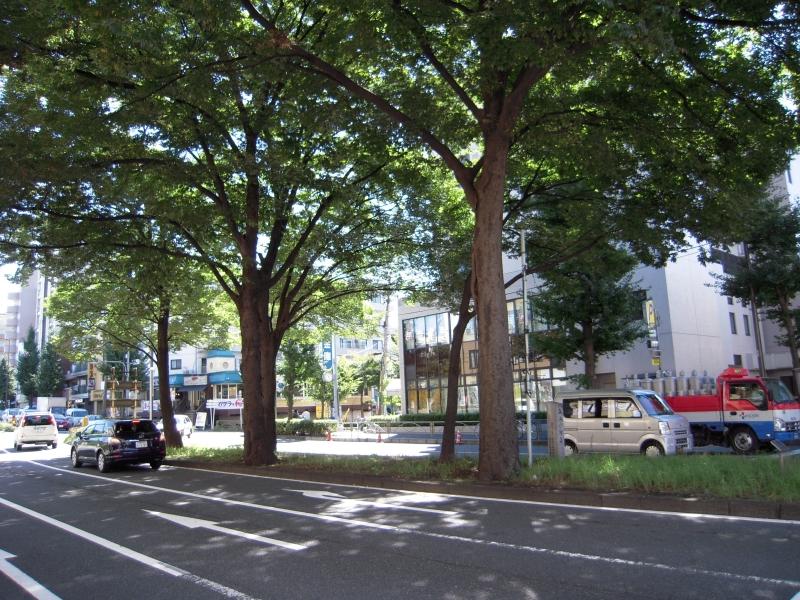 File:五本ケヤキ - panoramio.jpg