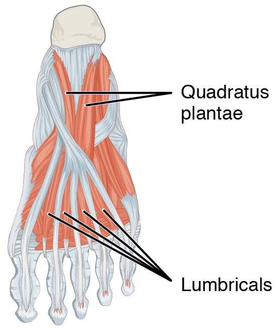 Lumbricals Of The Foot Wikiwand