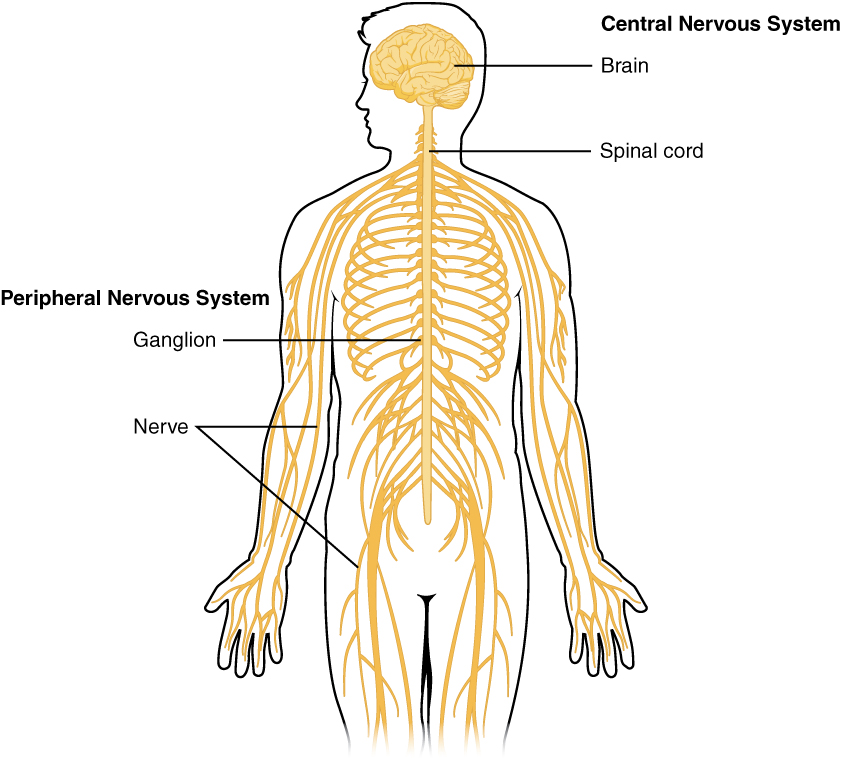 Diagram Of The Human Central Nervous System Electrical Work Wiring