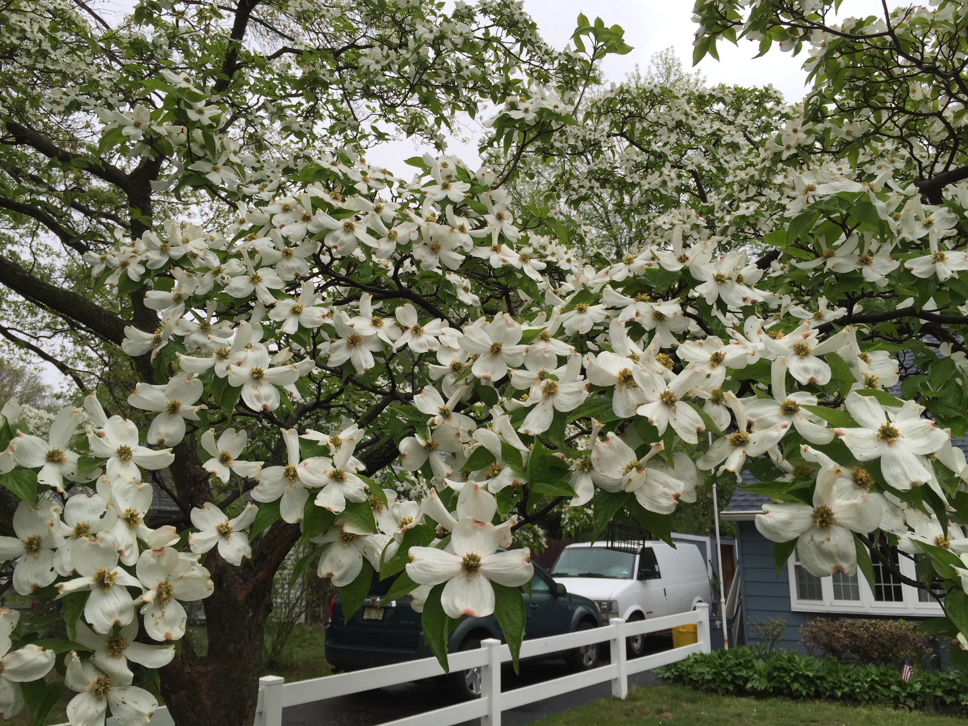 File2016 05 03 11 06 45 White Flowering Dogwood Blossoms Along