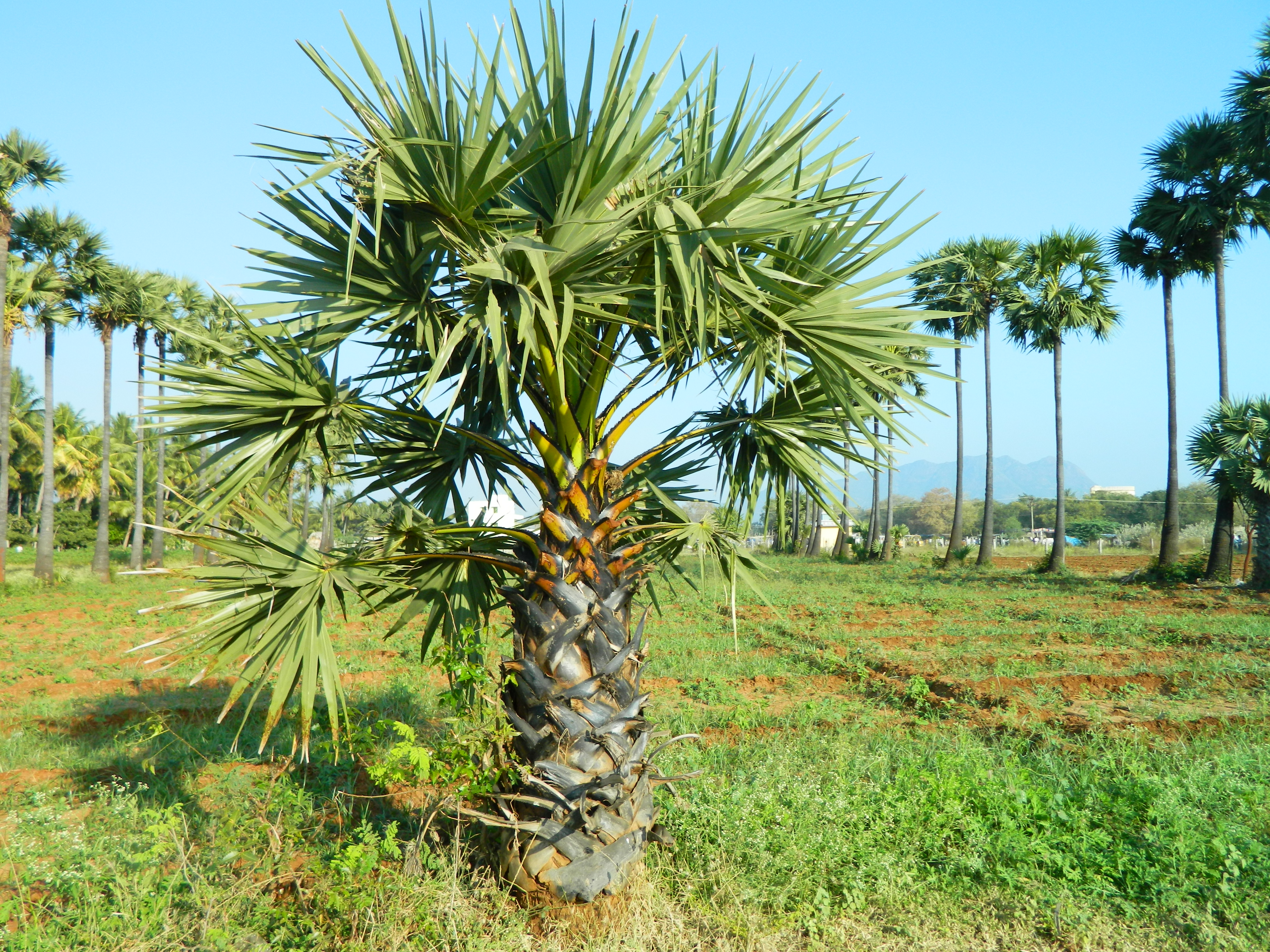 Date Palm Tree Coloring Pages