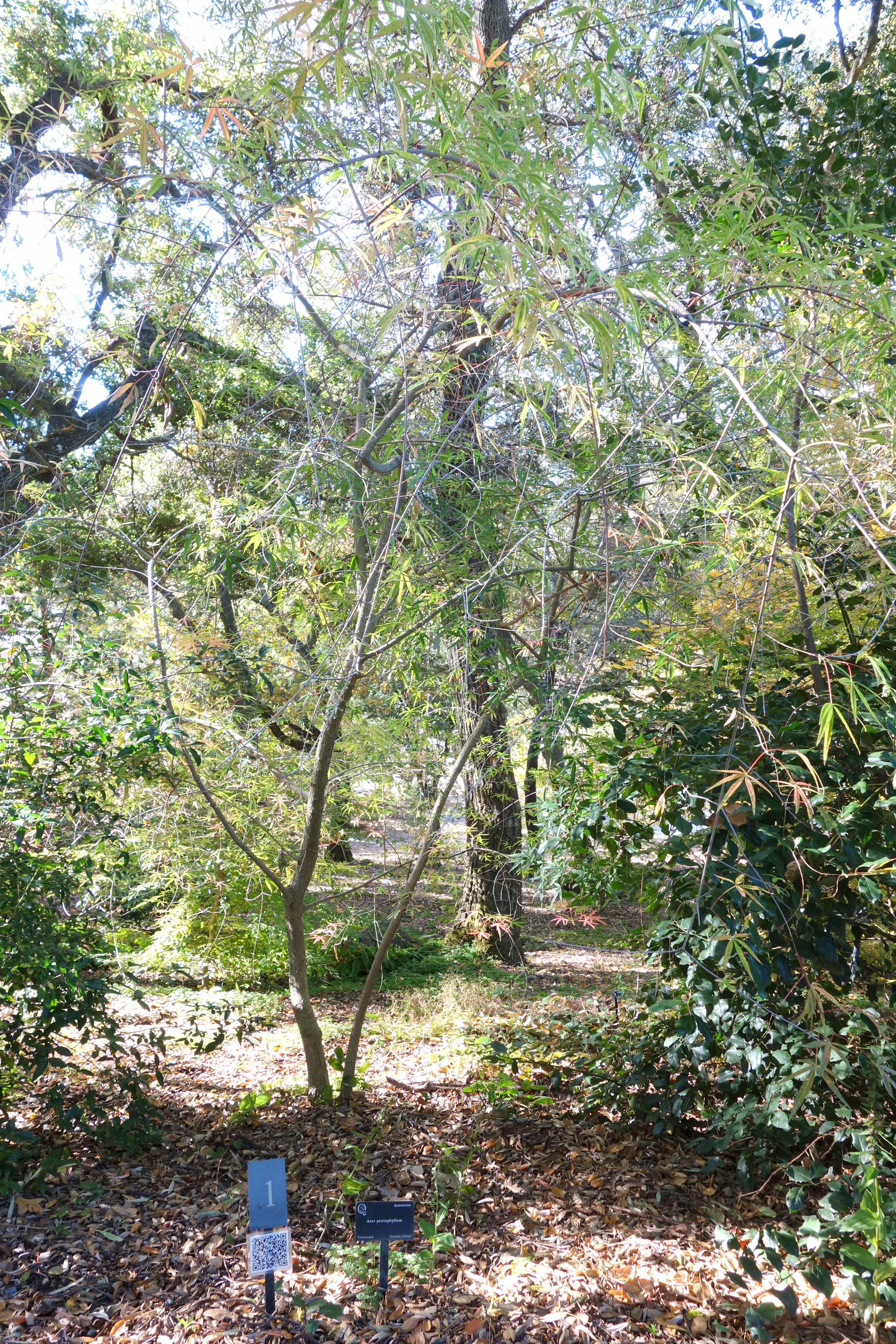 fileacer pentaphyllum quarryhill botanical garden dsc03215jpg - Quarryhill Botanical Garden