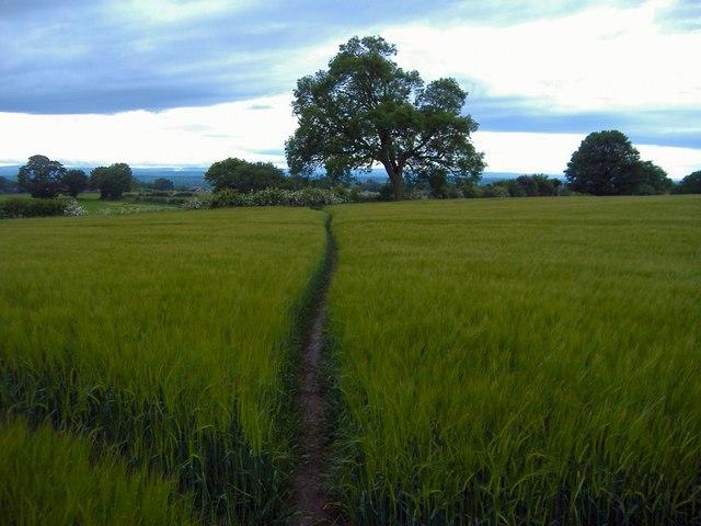 Alvanley - path through barley. - geograph.org.uk - 175819