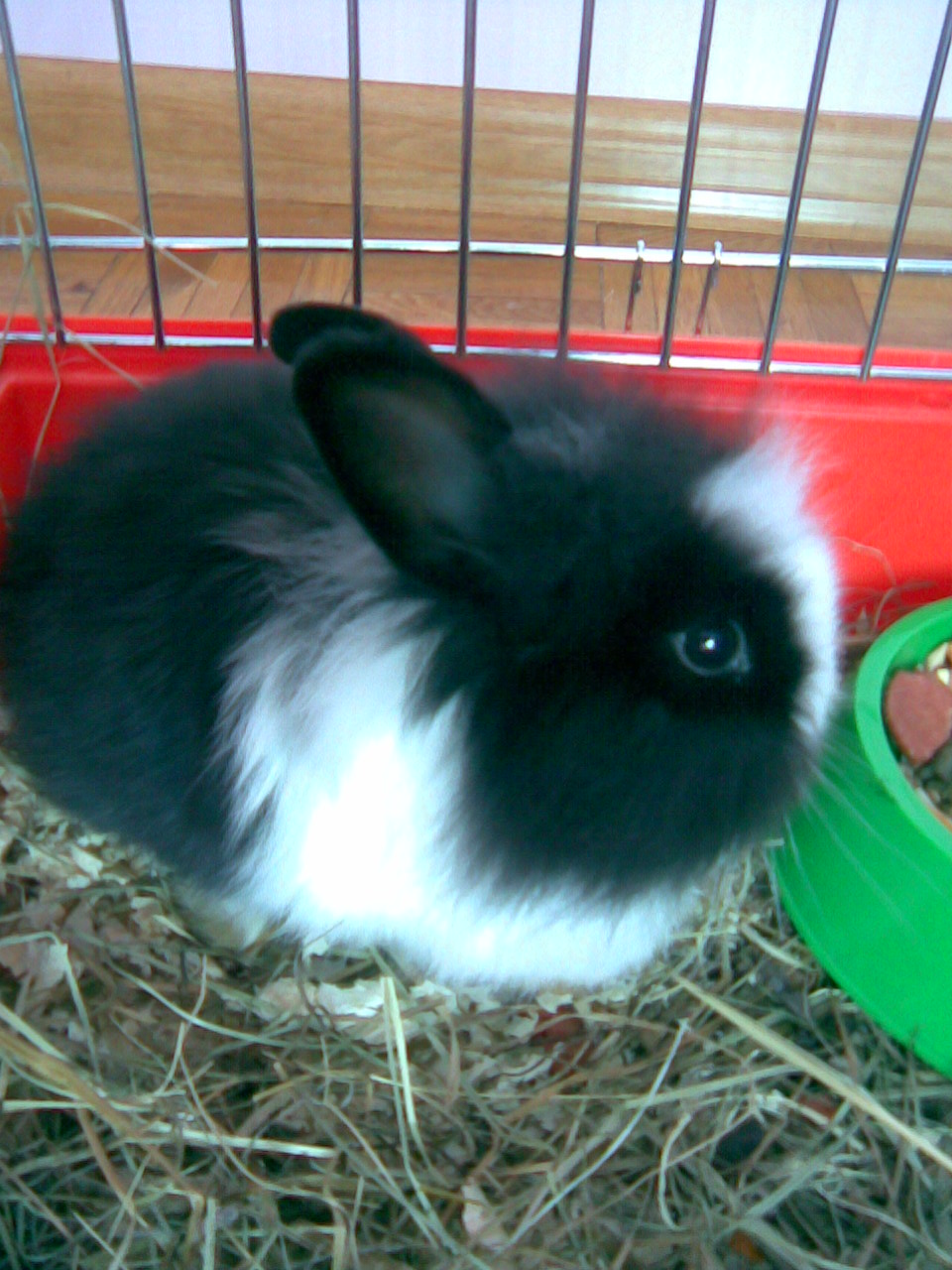 how to clean angora rabbit