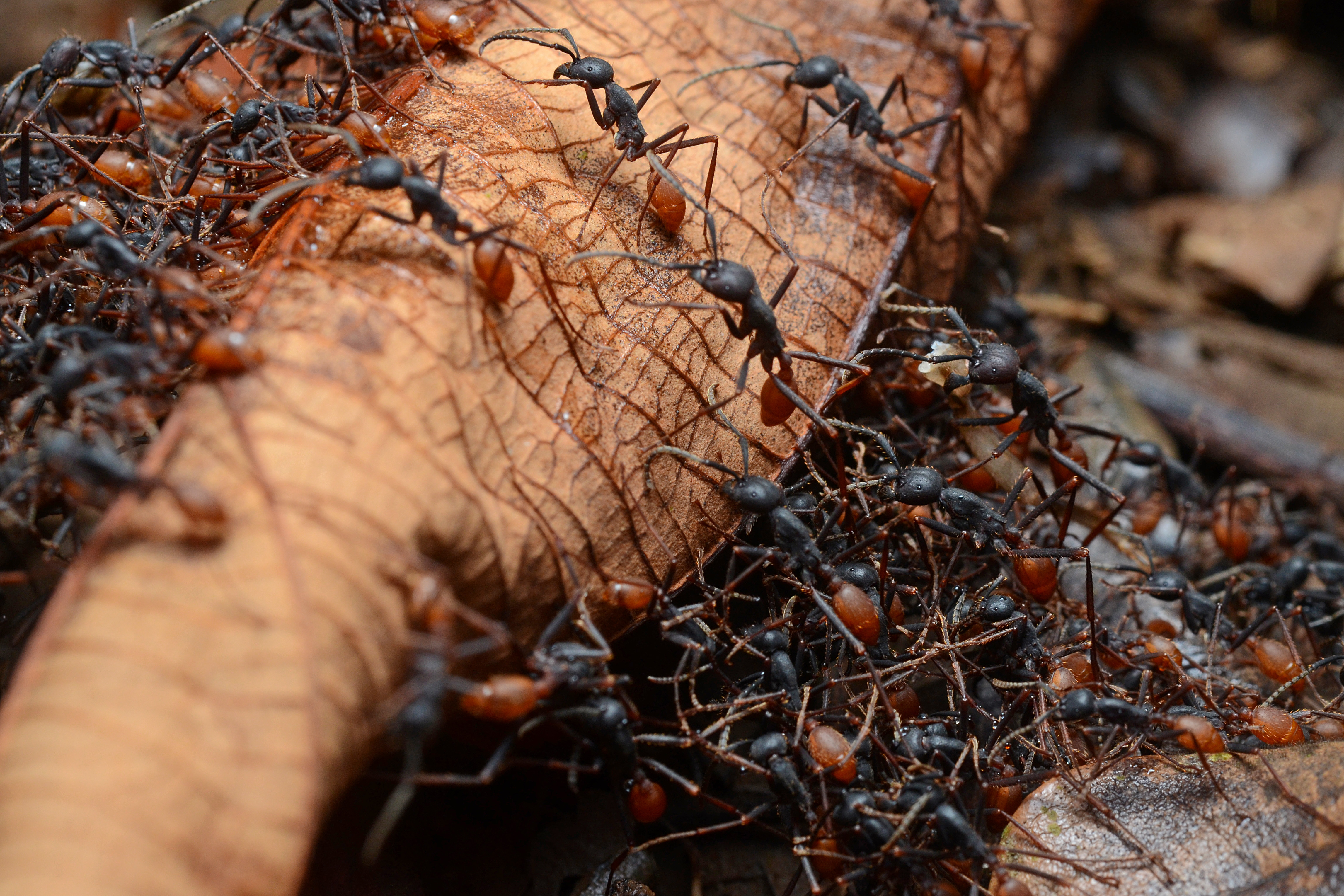 Ants on Pinterest | Armies, Soldiers and Insects