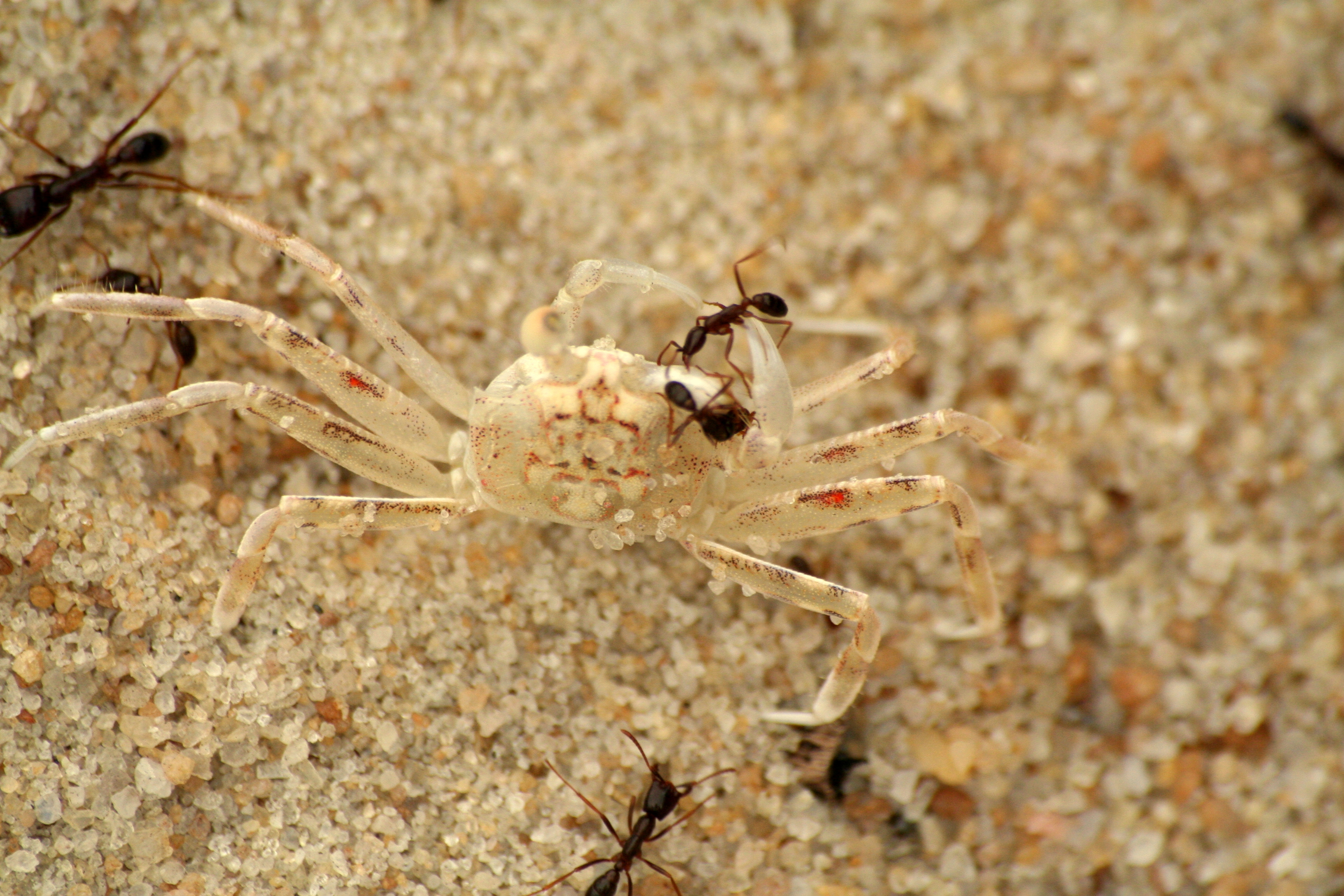 File:Army ants vs crab - Gabon.jpg - Wikimedia Commons