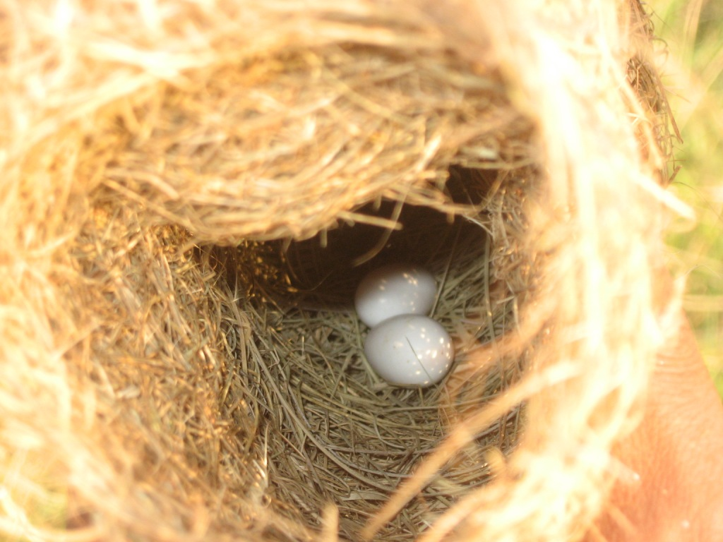 File Baya Nest Eggs Jpg Wikimedia Commons
