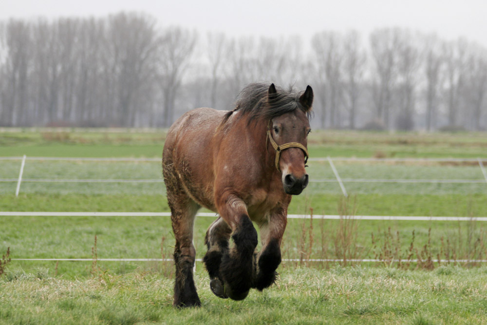 List Of Things Offered Belgian_horse