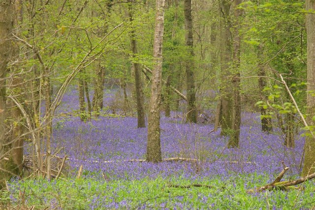 Bluebells in Duncliffe wood - geograph.org.uk - 1288600