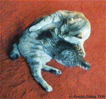 Fichier:Bobtail Tabby Cat MISSI WITH BABY-1996.jpg