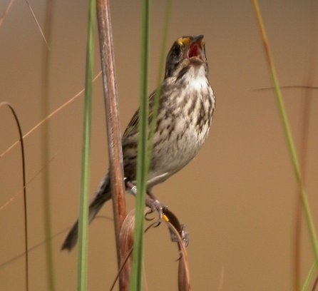A Cape Sable seaside sparrow perched on grass.
