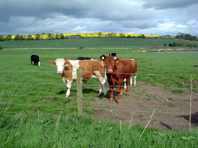 https://upload.wikimedia.org/wikipedia/commons/d/d3/Cattle_-_geograph.org.uk_-_432897.jpg