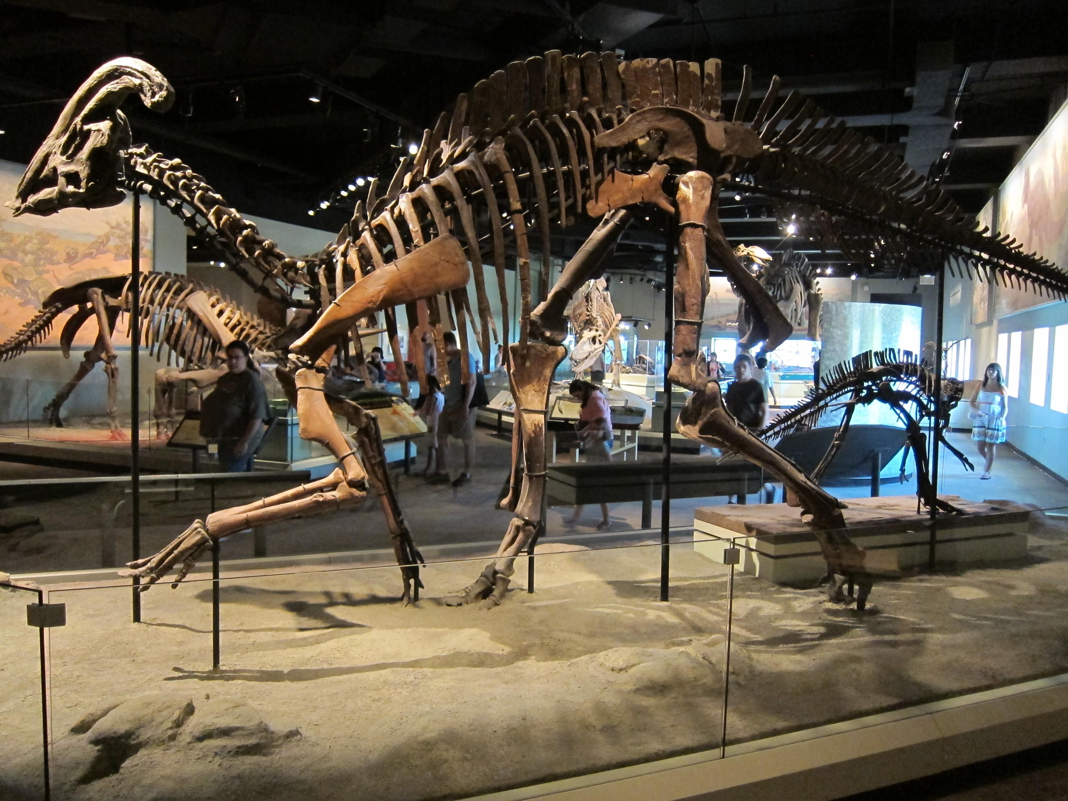 Hadrosaur Museum Natural History