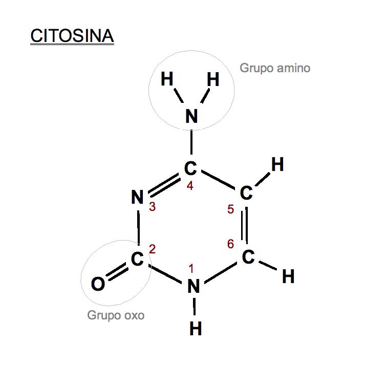 File Citosina Png Wikimedia Commons