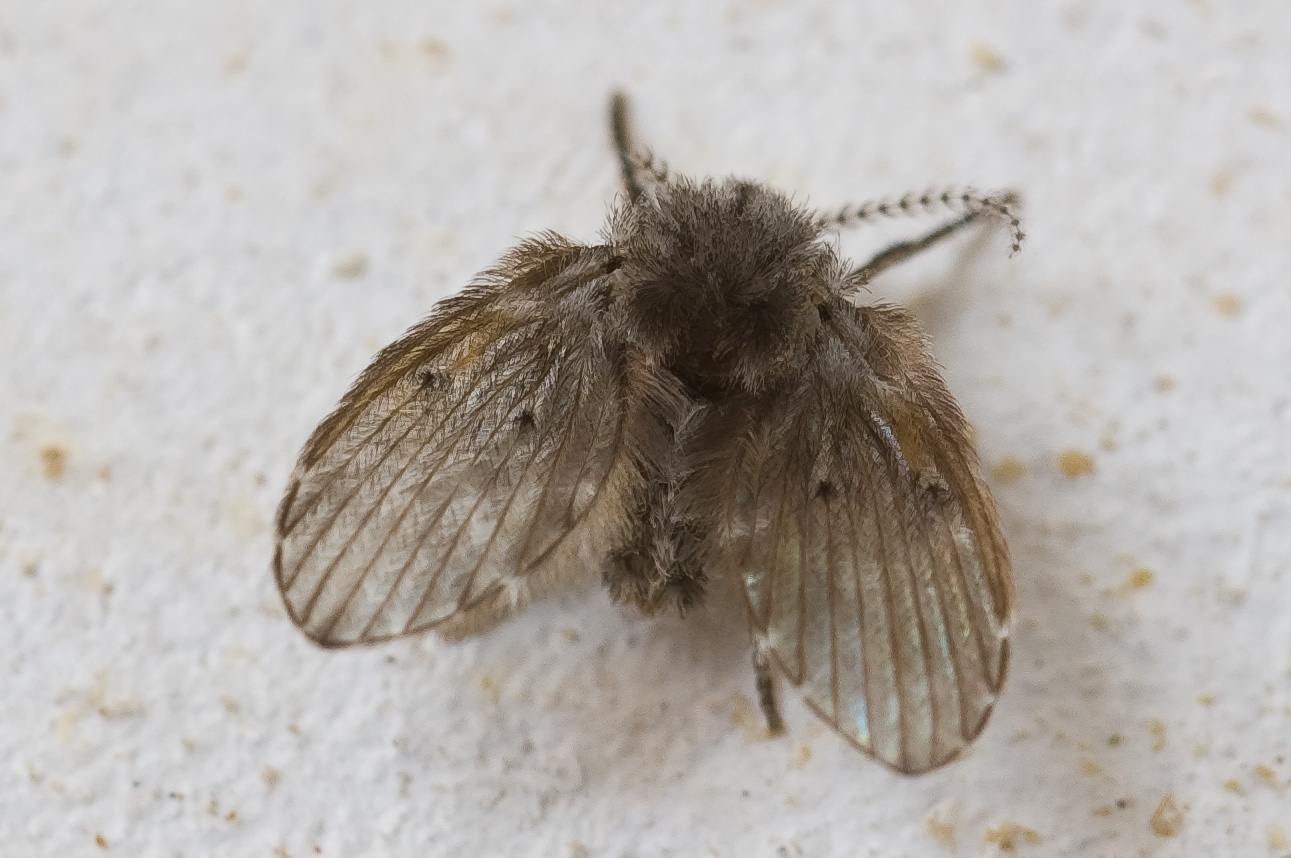 Psychodidae Salle De Bain ~ fichier clogmia albipunctata jpg wikip dia