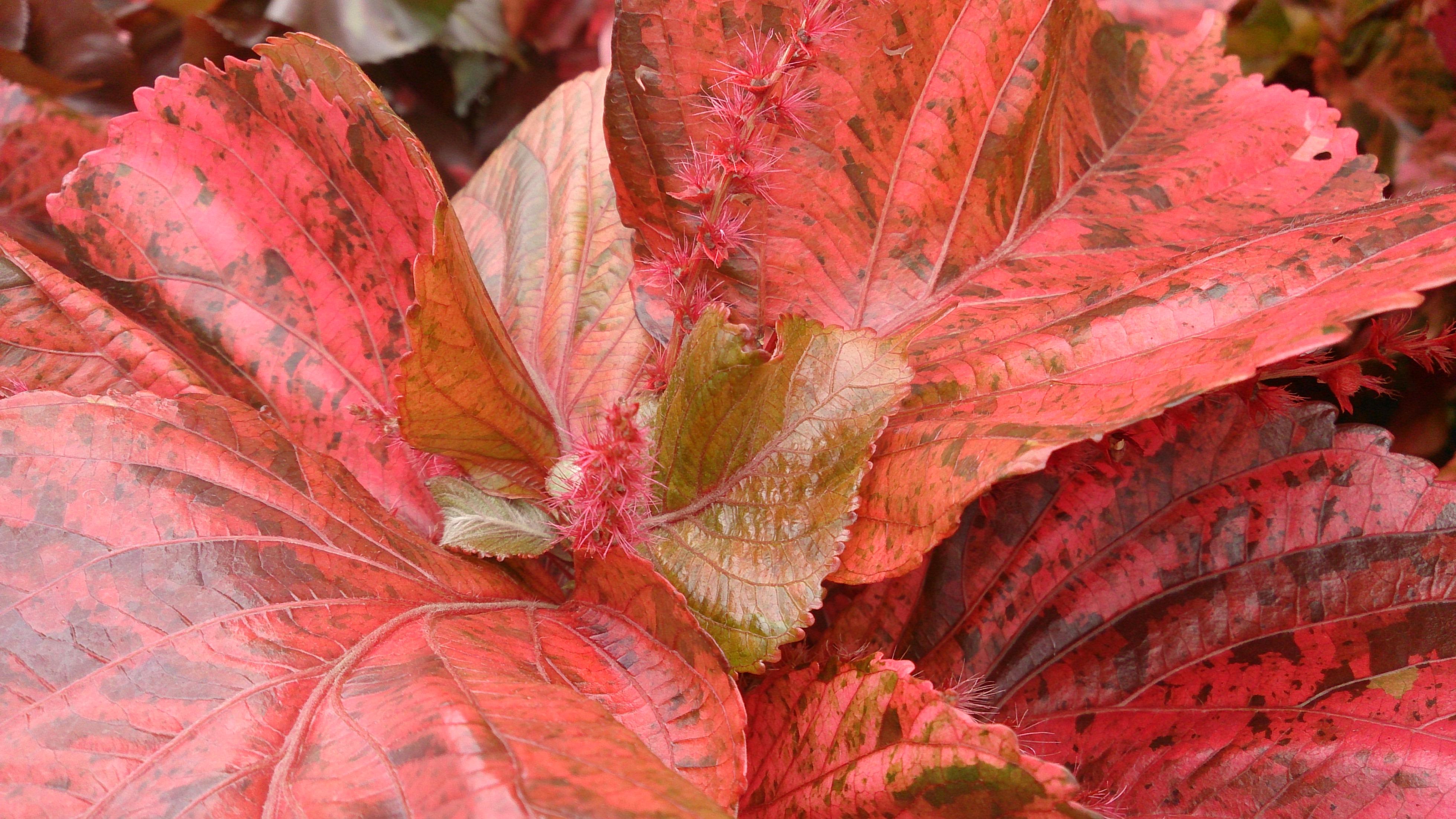 Filecopper Plant Acalypha Wilkesiana Mosaica 2jpg Wikimedia