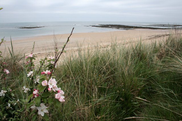 Dog Rose and Marram Grass, Annstead Links - geograph.org.uk - 426889