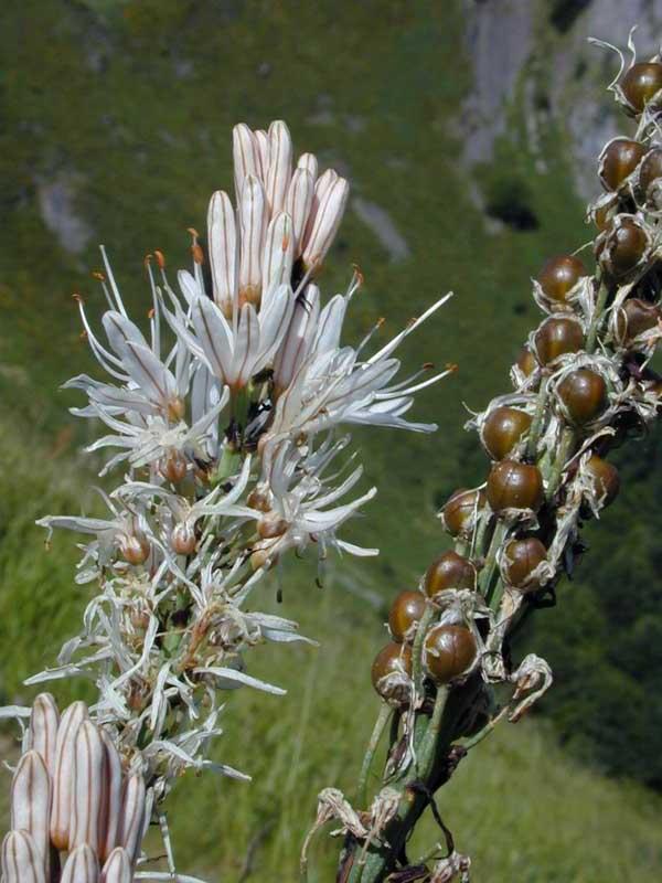 Asphodel Flower