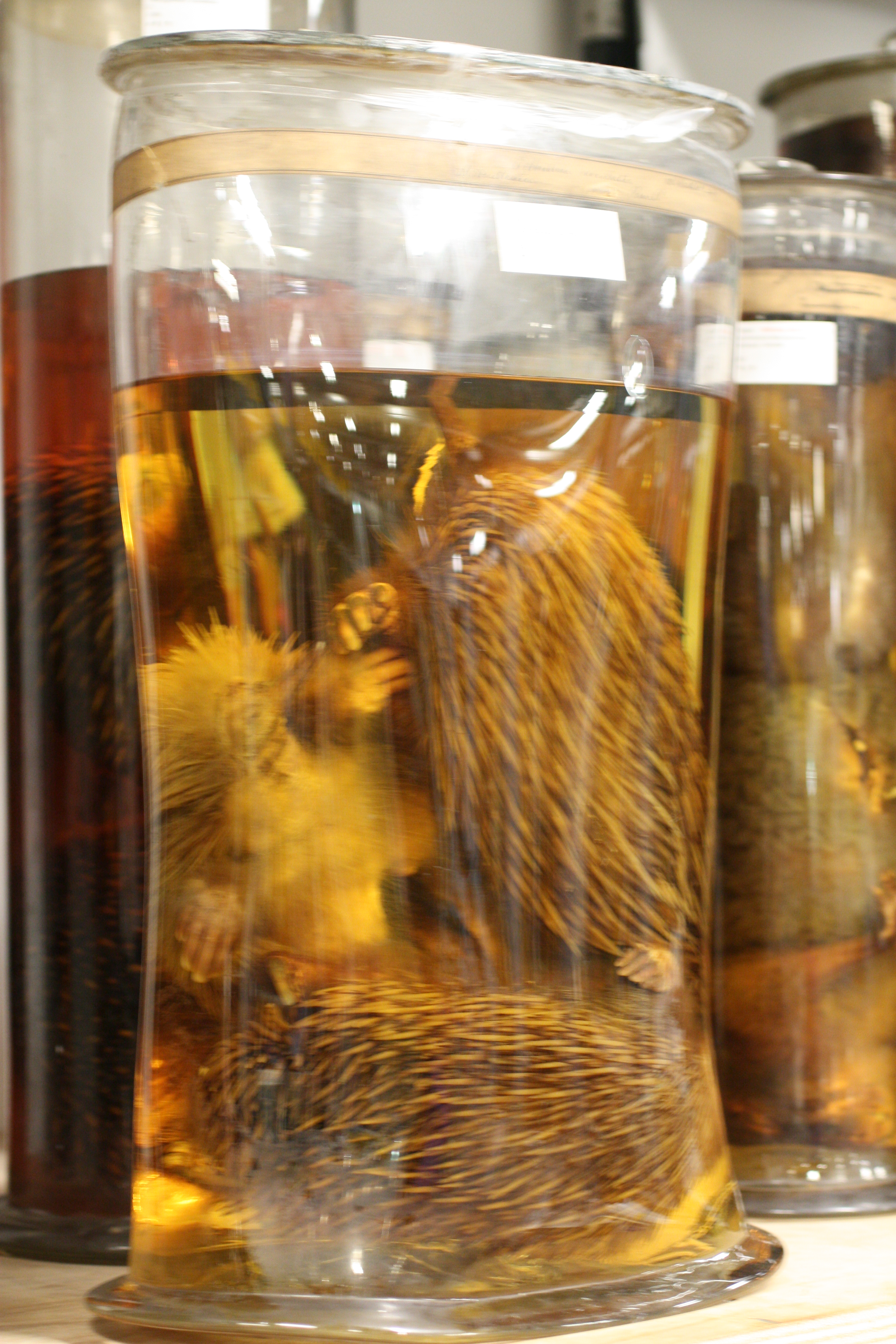 File:Echidnas in alcohol, Spirit Tour, Natural History Museum, London 01.