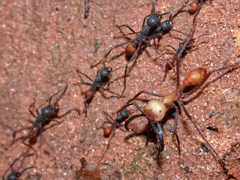 Army ant - Wikipedia, the free encyclopedia