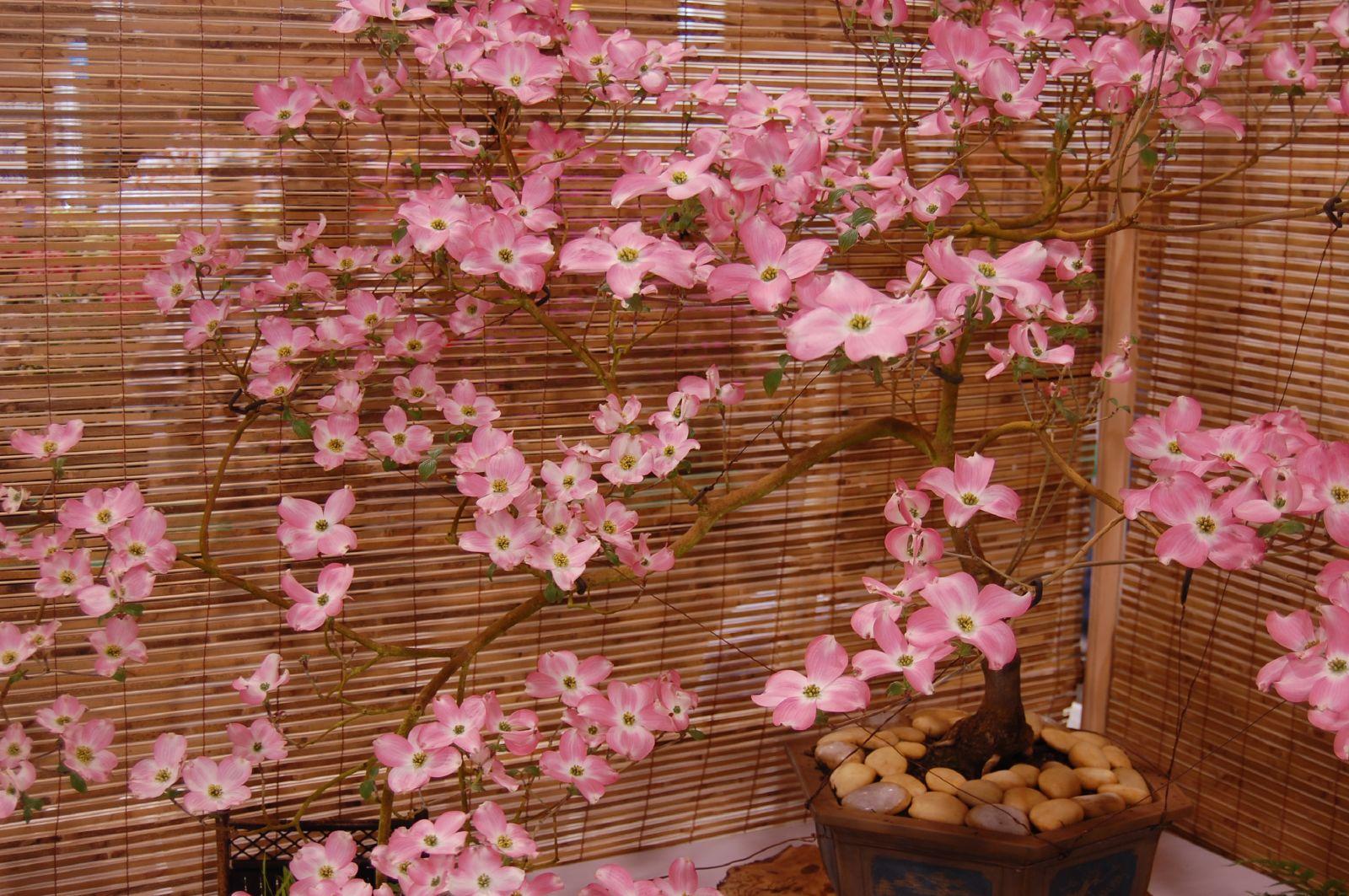 Fileflowering Pink Dogwood Bonsaig Wikimedia Commons