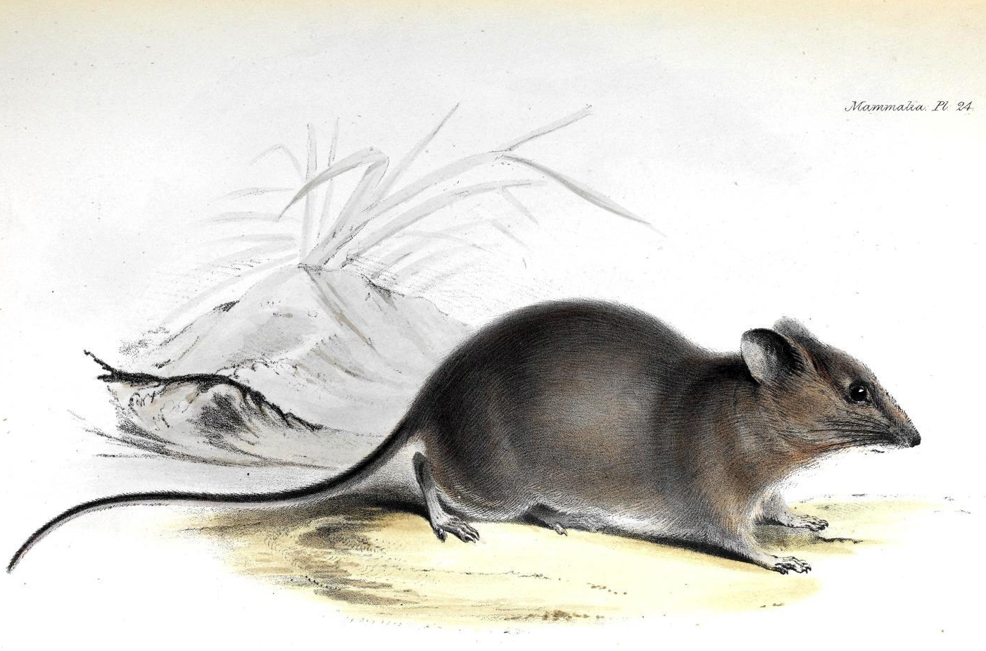 File:Galapagos Rice-Rat.jpg