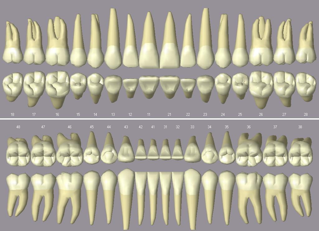 Molar (Zahn) – Wikipedia