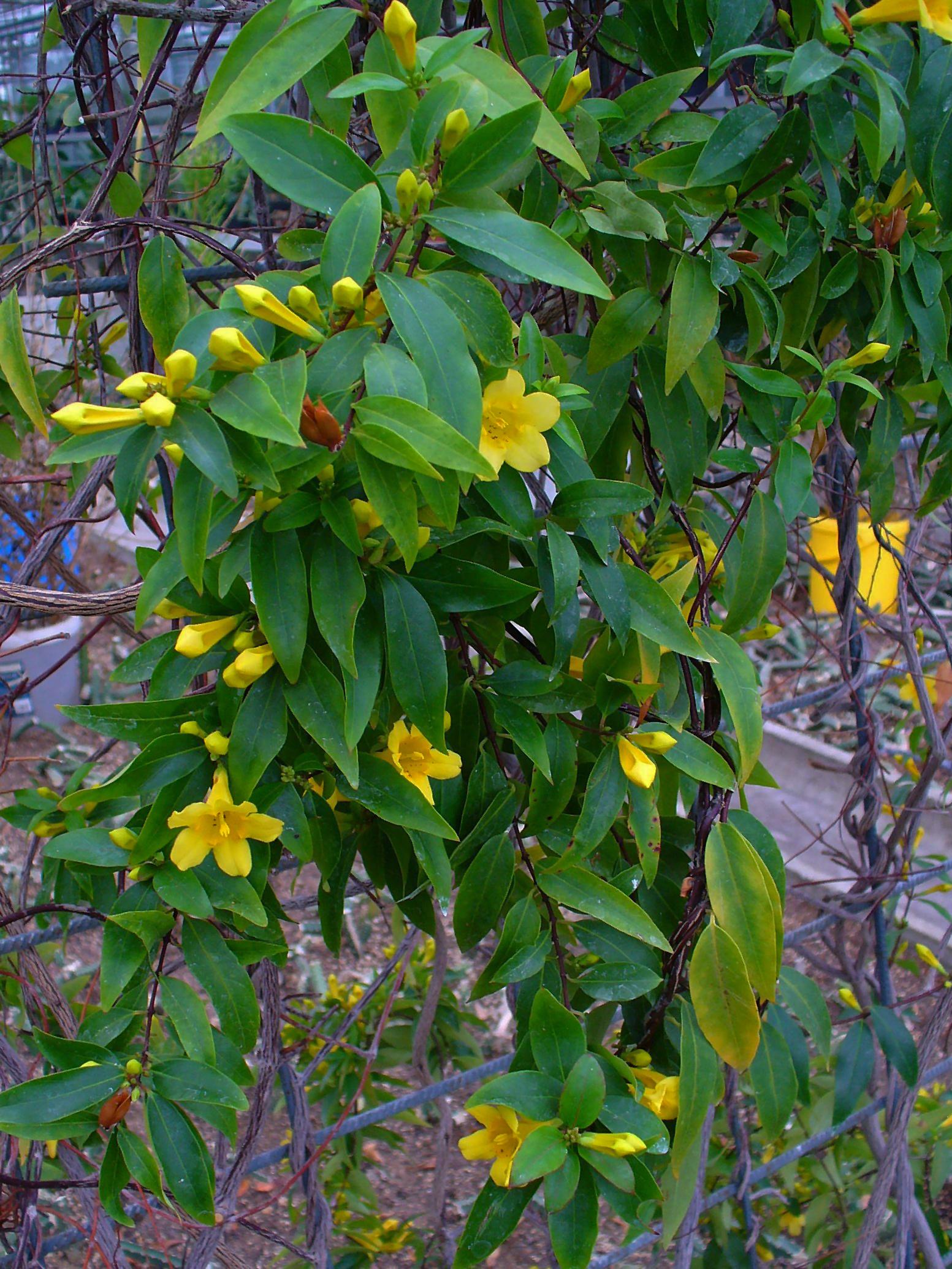 Carolina Jasmine Poultrydvm Toxic Plants A Z