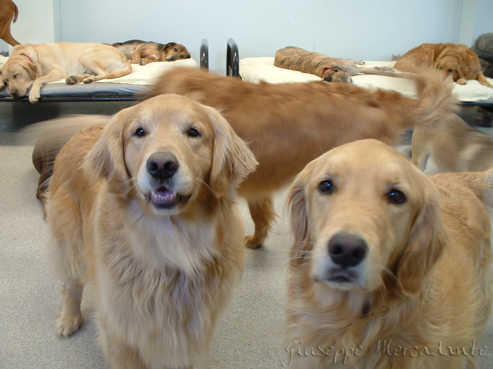 English: Golden Retrievers posing for a photo ...