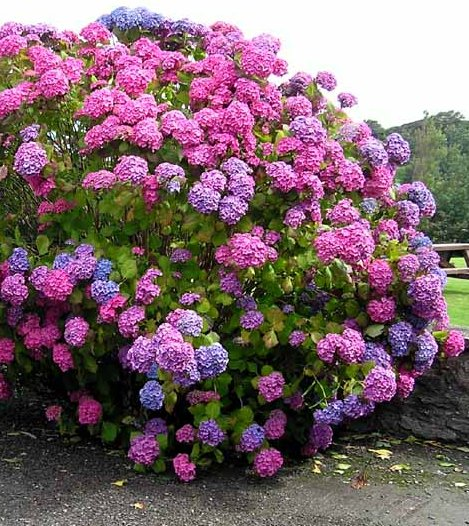 File hydrangea wikimedia commons for Ortensia in vaso