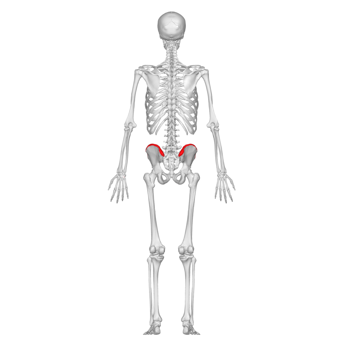 File:Iliac crest 01 - posterior view.png - Wikimedia Commons