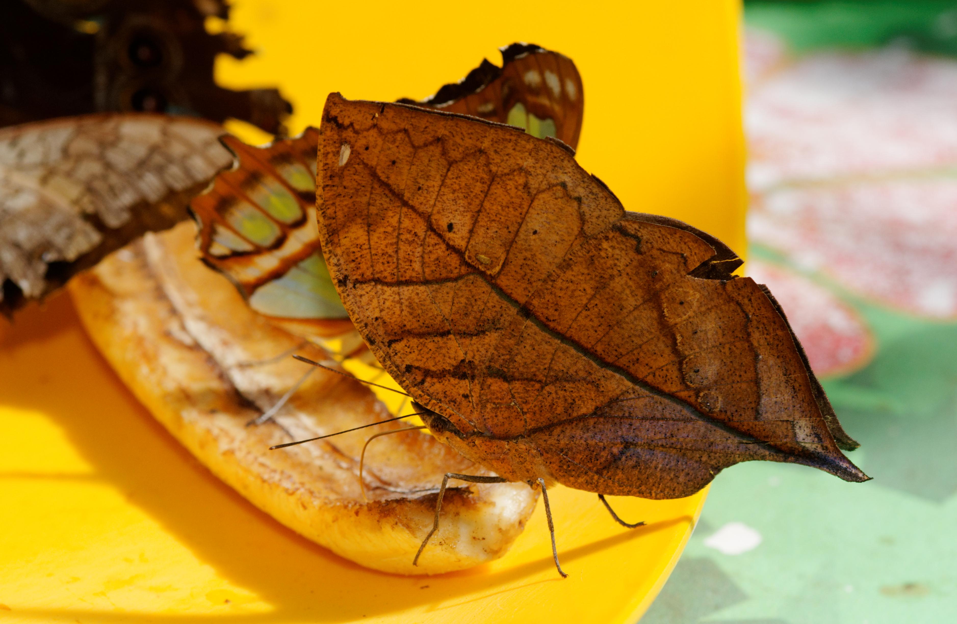 File:Indian Leaf Butterfly (Kallima Paralekta) Feeding On