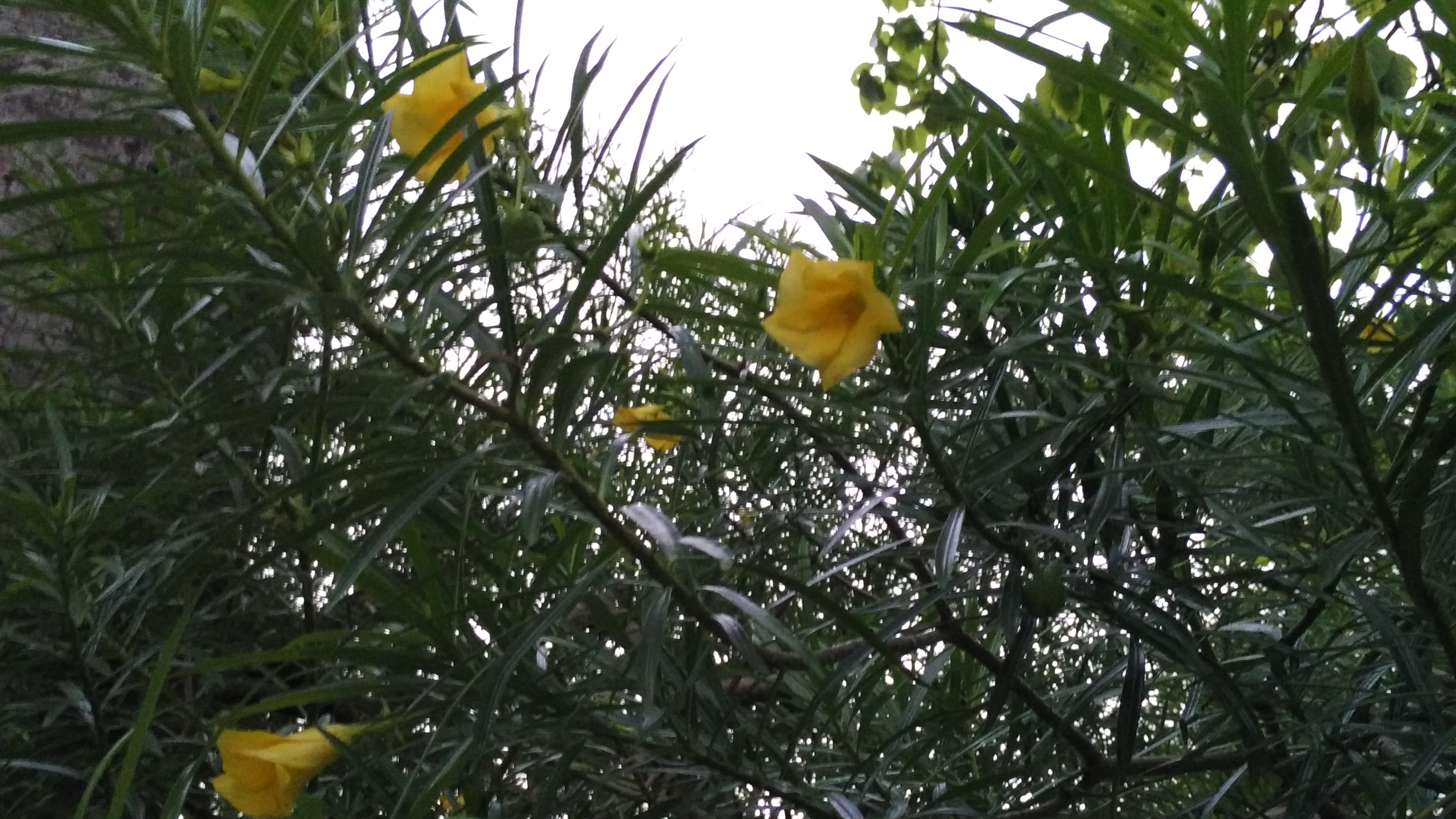 Filekaner Flower In A Parkg Wikimedia Commons