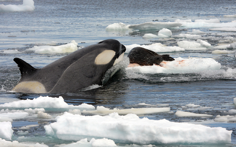 Orca Eating Polar Bear Killer whale hunting a weddell