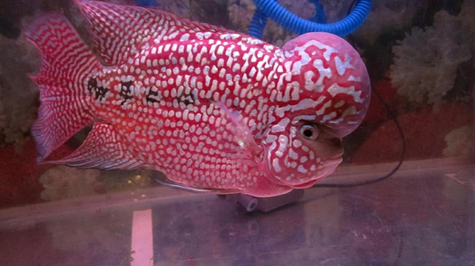 List of freshwater aquarium fish species wikiwand for Aquarium fish list