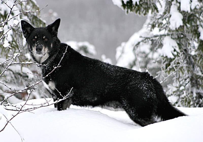 ملف:Lapskvallhund.jpg