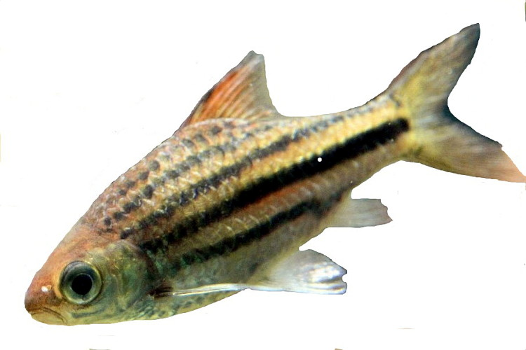 Karpfenfische Wikipedia