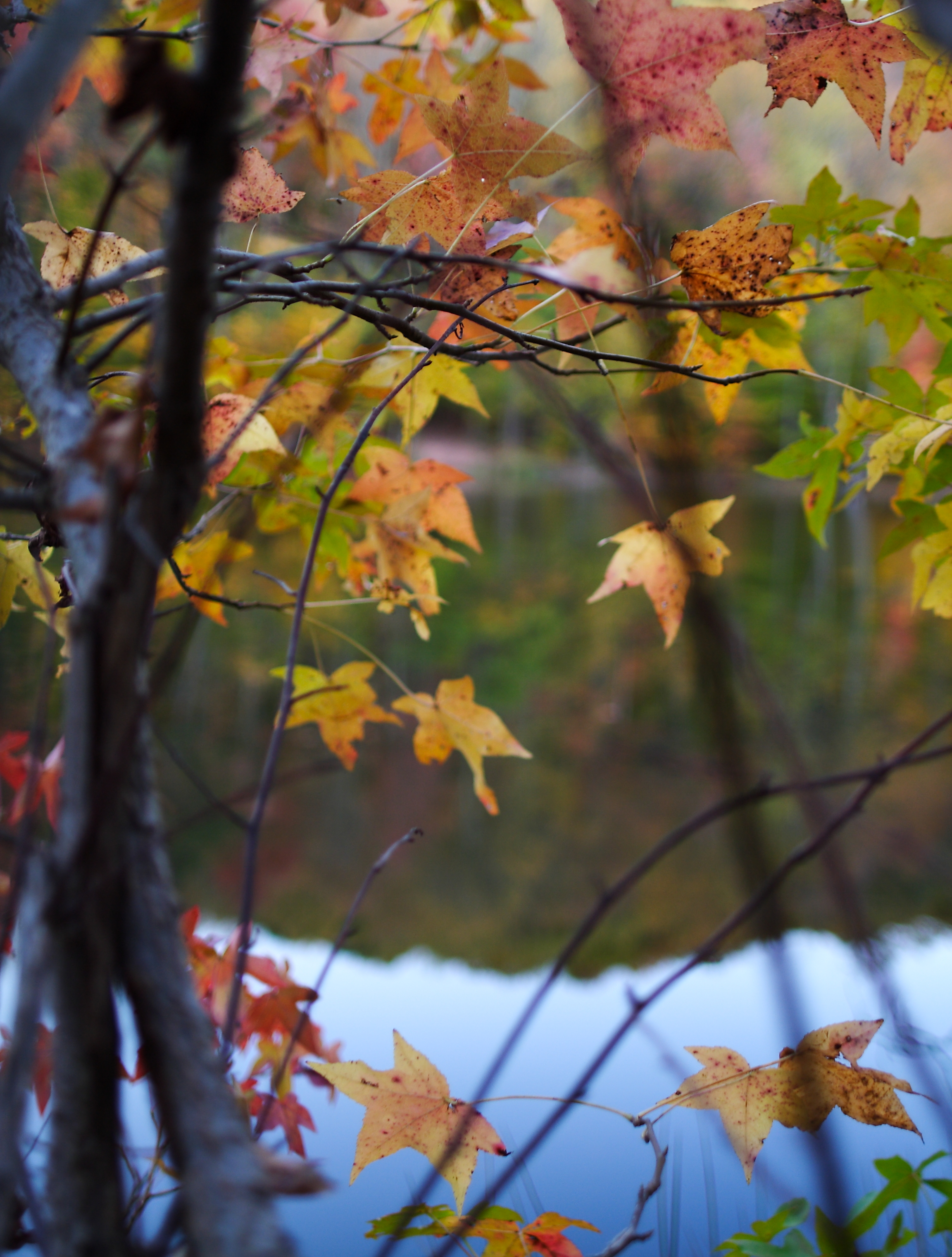 file looking through autumn tree leaves lake west virginia