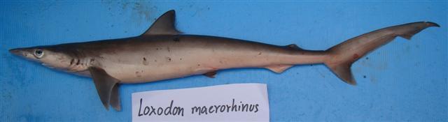 Loxodon macrorhinus3.jpg