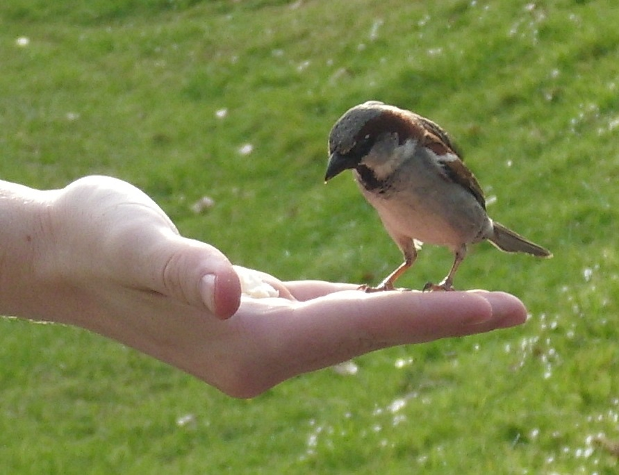 House Sparrow Facts File:male House Sparrow