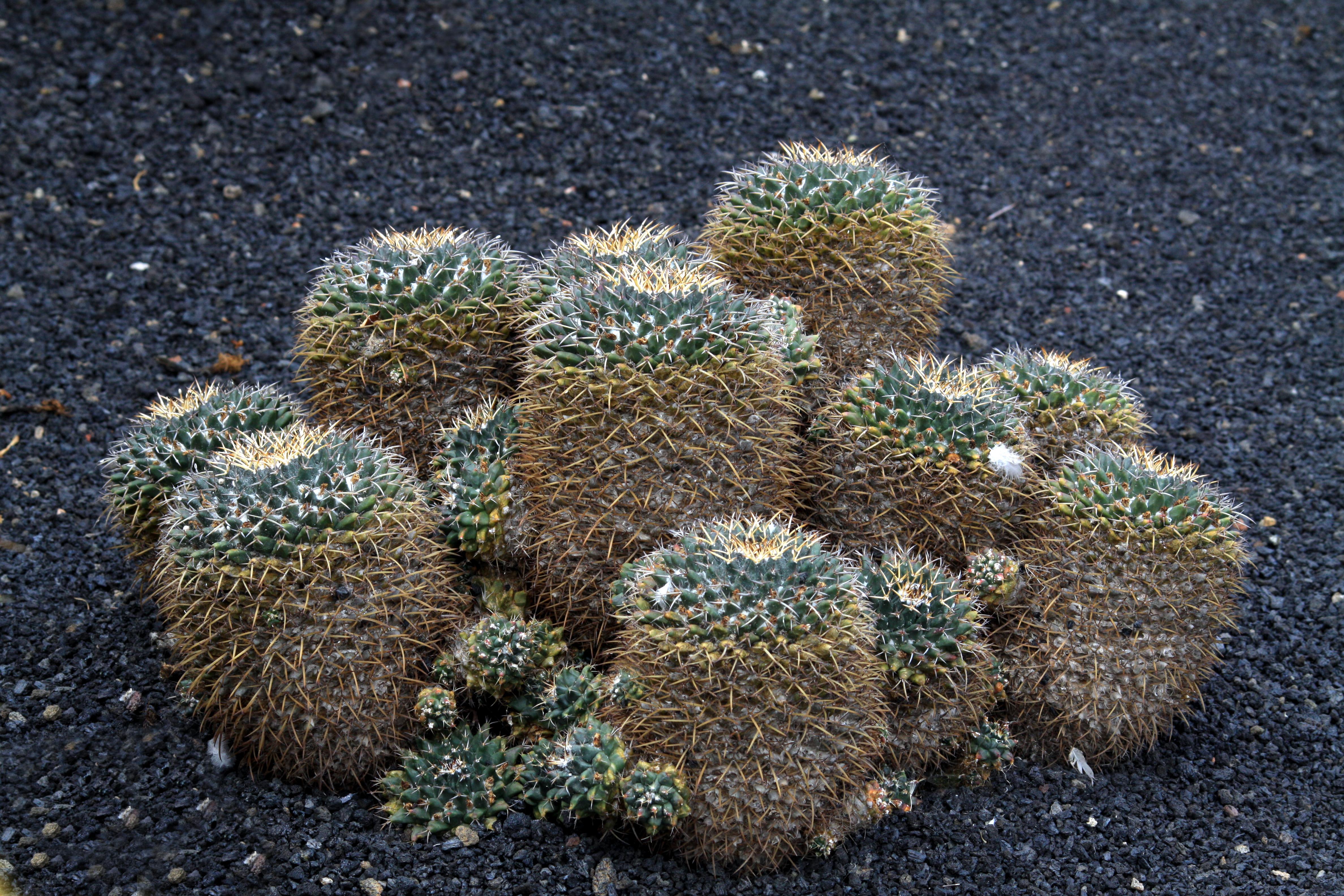 File mammillaria magnimamma in jardin de cactus on for Jardin de cactus lanzarote