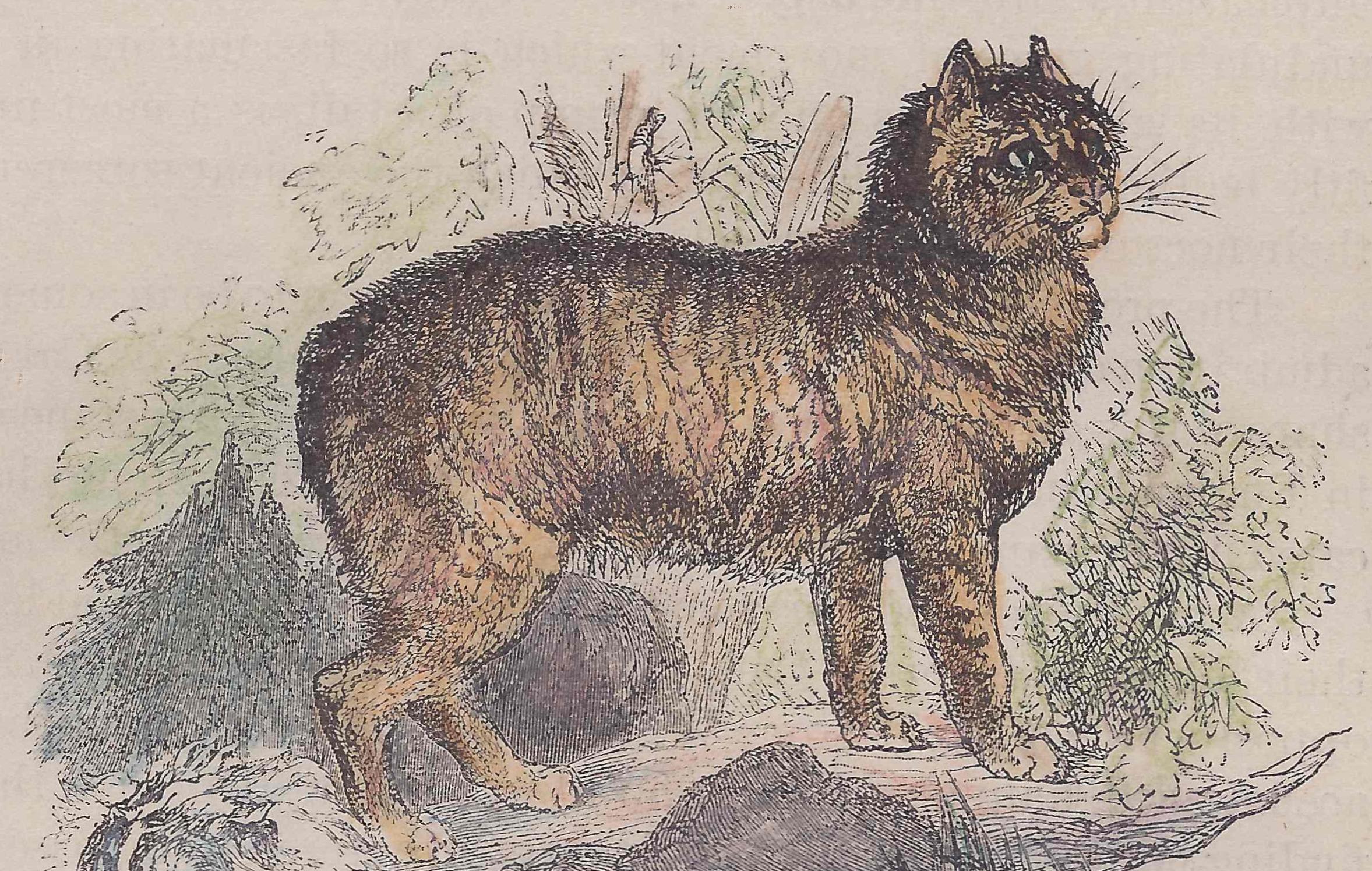 File:Manx cat (stylized) 1885.jpg - Wikimedia Commons  |Manx Cat History